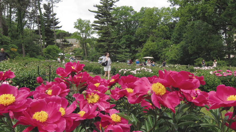 The-Peony-Garden-in-bloom-2