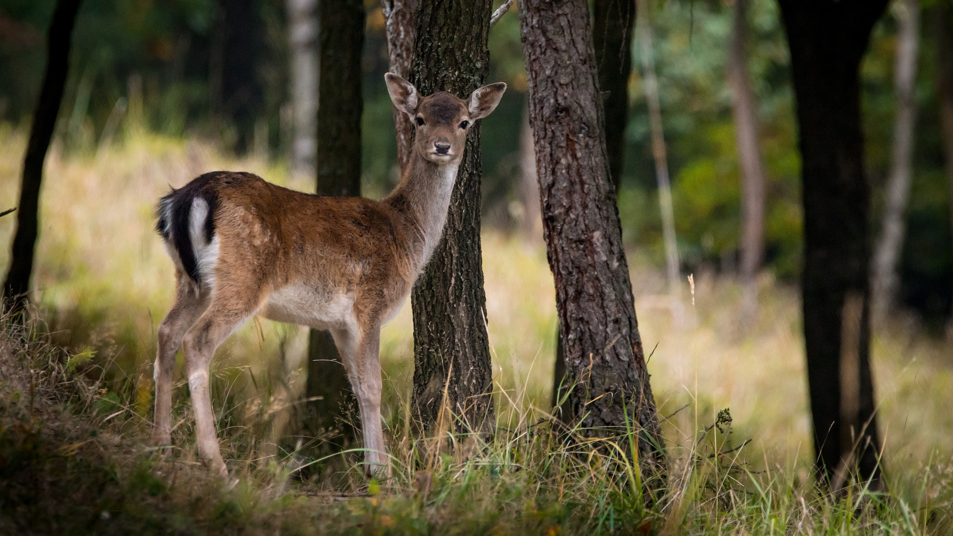 fallow-deer-984576_1920
