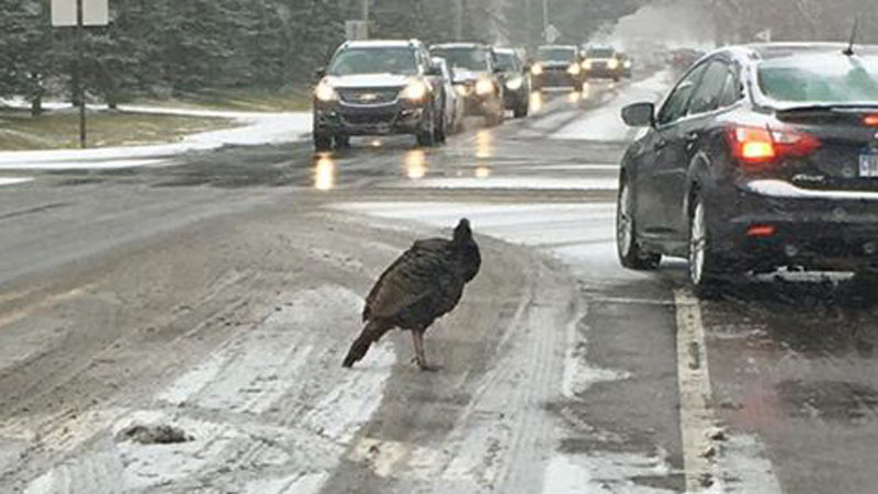 The Rogue Ypsi Turkey disrupting morning commutes yesterday