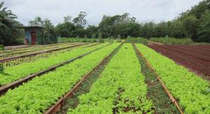 Sustainable Food Initiative lettuce